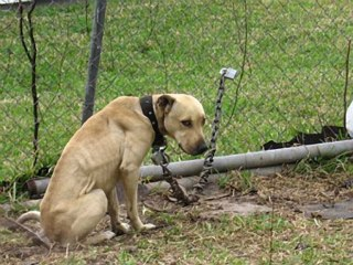 chained dog photo